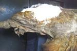 I resti del mammut Yuka (fonte: Cyclonaut/Wikimedia Commons/CC BY-SA 4.0)