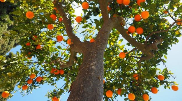agrumi calabresi, coldiretti calabria, concorrenza sleale, importazioni, mandarini Kinnot, Calabria, Economia