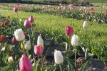 Tulipani tra ulivi e roseti di Marmilla