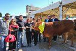 Mostra nazionale delle razze bovine Charolaise e Limousine, allevatori siciliani in gara in Umbria