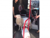 A spasso con una pecora e un maiale: il video girato a Roma dal conducente di un bus