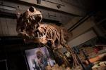 La ricostruzione dello scheletro di 'Scotty', il T-rex più grande mai trovato. Sarà in mostra in Canada a partire dal 2019. (fonte: Amanda Kelley)