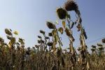 Accelerare ritmo coltivazioni per ridurre impatto siccità