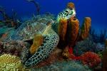 La tartaruga Chelonia mydas sulla barriera corallina dei Caraibi (fonte: R.D. e B.S. Kirkby)