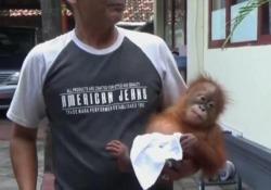 Bali, turista russo droga un orango per trasportarlo illegalmente Arrestato, aveva somministrato pillole contro le allergie all'animale - LaPresse