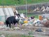 Diossina nel grasso dei maiali vicino al centro raccolta rifiuti di Milazzo, scatta il sequestro