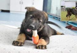 Cina, clonato il super cane poliziotto (ridurrà i tempi di addestramento) Lo«Sherlock Holmes» dei cani poliziotti ha tre mesi. Ed è dolcissimo - CorriereTV