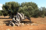 Cade da un albero d'ulivo e si ferisce, 60enne in gravi condizioni a Caulonia