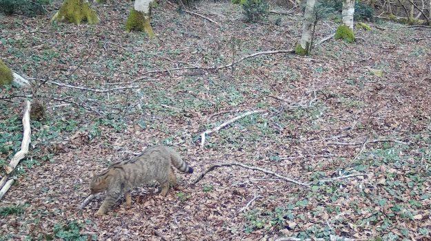 gatto selvatico, parco delle serre, Catanzaro, Calabria, Società