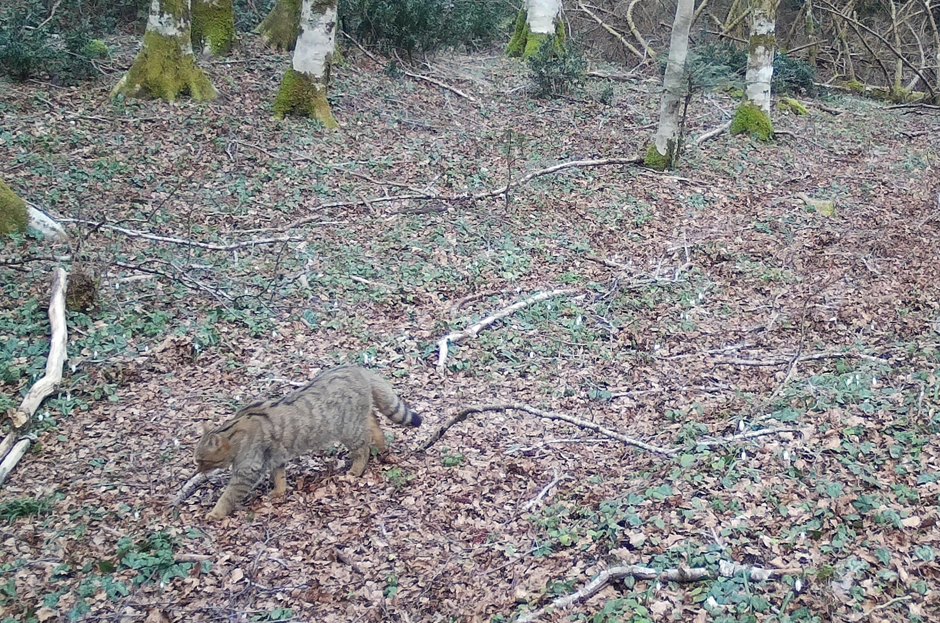 Parco Delle Serre Avvistato Un Raro Esemplare Di Gatto Selvatico
