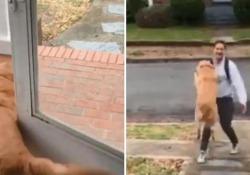Il cane «vola» in braccio al padrone che torna a casa dal lavoro Il golden retriever non aspetta ch e l'uomo apra la porta - Corriere Tv