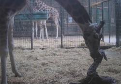 Il parto della giraffa, lieto evento allo zoo di Chester La nascita del cucciolo di una specie a rischio ripresa dalle telecamere di sicurezza - LaPresse
