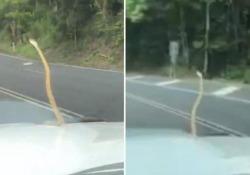 Il serpente sul cofano si gode il passaggio in auto Il rettile sulla macchina di una famiglia in viaggio in Australia - CorriereTV