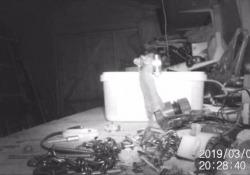 Il topolino beccato a mettere a posto le cianfrusaglie nel capanno degli attrezzi La rete si è innamorata di questo roditore che sembra uscito da un film Disney - CorriereTV