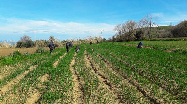 cipolla rossa di tropea, lavoro nero, Catanzaro, Calabria, Cronaca