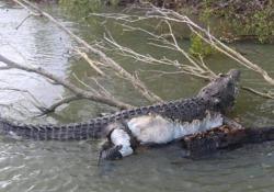 «Mai stato una minaccia». L'Australia in lutto per «Bismarck», il coccodrillo ucciso a 80 anni «Bismark» era diventato il rettile più famoso del Paese - CorriereTV