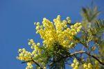 La mimosa per la prima volta fu deposta in memoria di Teresa Gullace