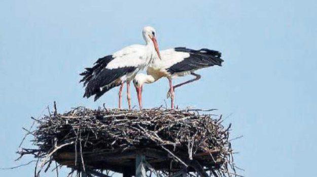 cicogna uccisa, nido cicogna, rende, Cosenza, Calabria, Società