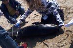 Delfino della specie Pseudorca crassidens spiaggiato in Calabria