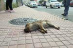 Cinghiale in pieno centro a Lamezia, trovato morto sul marciapiede