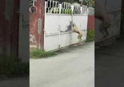Come superare il cancello? Ecco il cane che salta come Michael Jordan Il simpatico video registrato a Cebu, nelle Filippine - CorriereTV