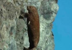 Così i trichechi si gettano dalle rocce e muoiono. Colpa del cambiamento climatico Video Le immagini impressionanti in un documentario - Corriere Tv
