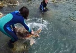 Ferita da un amo da pesca a Pianosa, la tartaruga Olivastra torna libera Tornata in mare grazie ai volontari di Legambiente - Corriere Tv