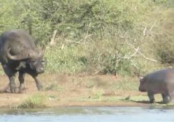 Il baby ippopotamo spaventa il coccodrillo (ma poi scappa dal bufalo) Il simpatico video dal parco nazionale Kruger, in Sudafrica - CorriereTV