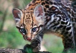 La splendida cucciola di Ocelot debutta in società La gattopardina era nata tre mesi fa. La specie è stata messa a rischio dal mercato delle pellicce - Corriere Tv