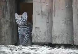 Nato il primo cucciolo di gattopardo in Italia: occhi azzurri e pelo cortissimo Il lieto evento nel parco zoologico di Bussolengo, in provincia di Verona - LaPresse