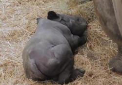 Usa: fiocco rosa allo zoo, è nata una baby rinoceronte Il lieto evento al Blank Park di Des Moines, in Iowa - LaPresse