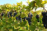 Vino, Calabria prima regione in Italia per coltivazione di vite biologica