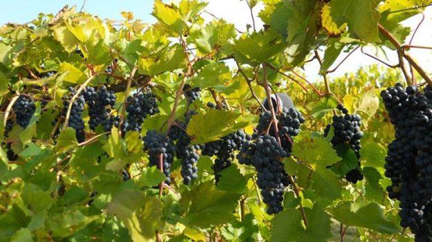 vinitaly, vino calabria, Calabria, Economia