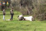 """'Ndrangheta, tre """"vacche sacre"""" abbattute a Molochio"""