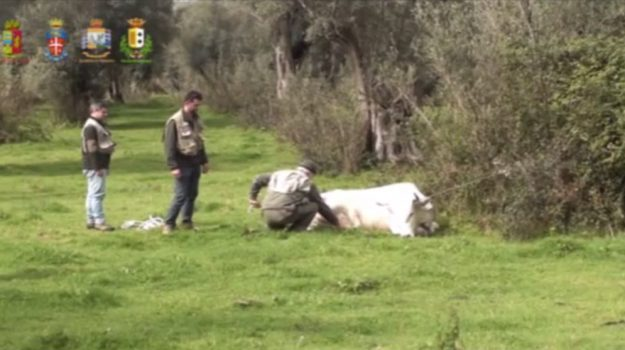 'ndrangheta, vacche sacre, Reggio, Calabria, Cronaca