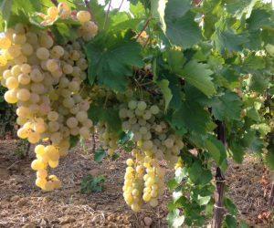 Viticoltura italiana è nata in Sicilia, lo dice un test di paternità