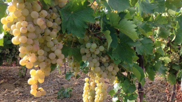 vigna bio, vinico calabrese, vino siciliano, Sicilia, Economia