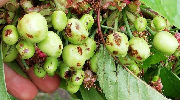 coldiretti, frutta, maltempo, Sicilia, Economia