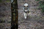 """Dopo 254 anni avvistato un lupo """"a spasso"""" in provincia di Lodi"""