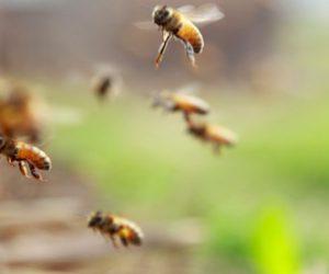 Giornata mondiale delle api, senza di loro niente cioccolata