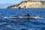 Emergenza capodogli in Sicilia, esemplare morto a Stromboli: è il quinto caso in una settimana