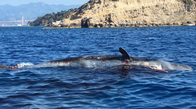 capodoglio spiaggiato, isole eolie, stromboli, Messina, Sicilia, Cronaca