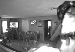 Cerca di «eliminare» le prove del misfatto: il boxer stacca la telecamera di sorveglianza I padroni hanno pubblicato il simpatico video sui social - CorriereTV