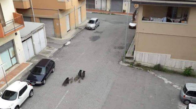 cinghiali calabria, soverato, Catanzaro, Calabria, Cronaca