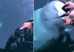Il beluga-spia russo riporta il cellulare caduto in acqua La scena è stata ripresa in Norvegia, vicino al porto di Hammerfest - Corriere Tv