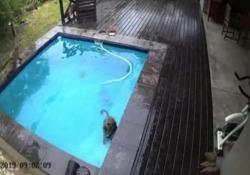 Il party in piscina dei babbuini Il video della telecamera di sorveglianza di un'abitazione in Sudafrica - CorriereTV