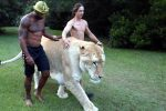Pesa oltre 300 chili: ecco il ligre Apollo, nato da un leone e una tigre - Video