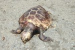 """Una tartaruga spiaggiata sul lungomare """"Falcone Borsellino"""" di Lamezia"""