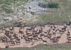 Abruzzo, fa caldissimo: i cervi corrono alla ricerca di acqua Il video girato nel Parco Nazionale d'Abruzzo, a 2000 metri - CorriereTV