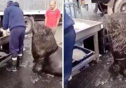 «C'è qualcosa anche per me?» Il leone marino al mercato del pesce per chiedere uno spuntino Il grosso animale aspetta pazientemente che qualcuno gli passi un pesciolino - CorriereTV